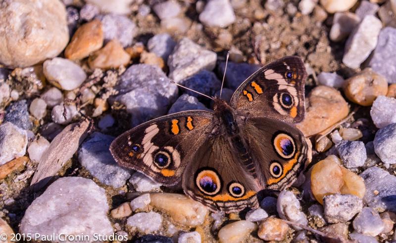 Butterfly Paul Cronin Studios