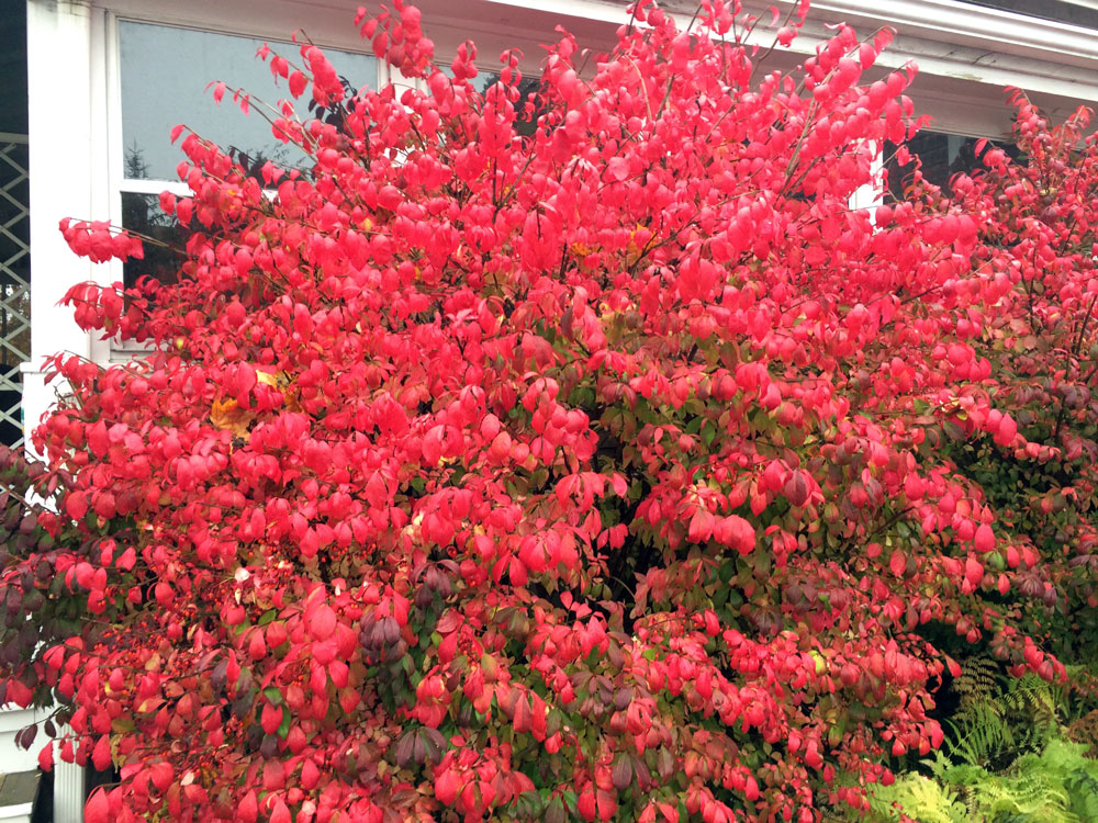 redbush, thanksgiving, burning bush, blooming