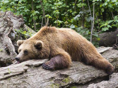 bear lazy in woods