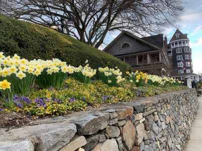 Daffodils April 2020 Jamestown RI