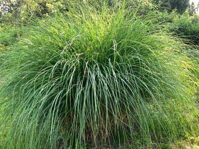 sailor's lawn grass